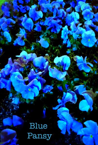 Blue_pansy.jpg